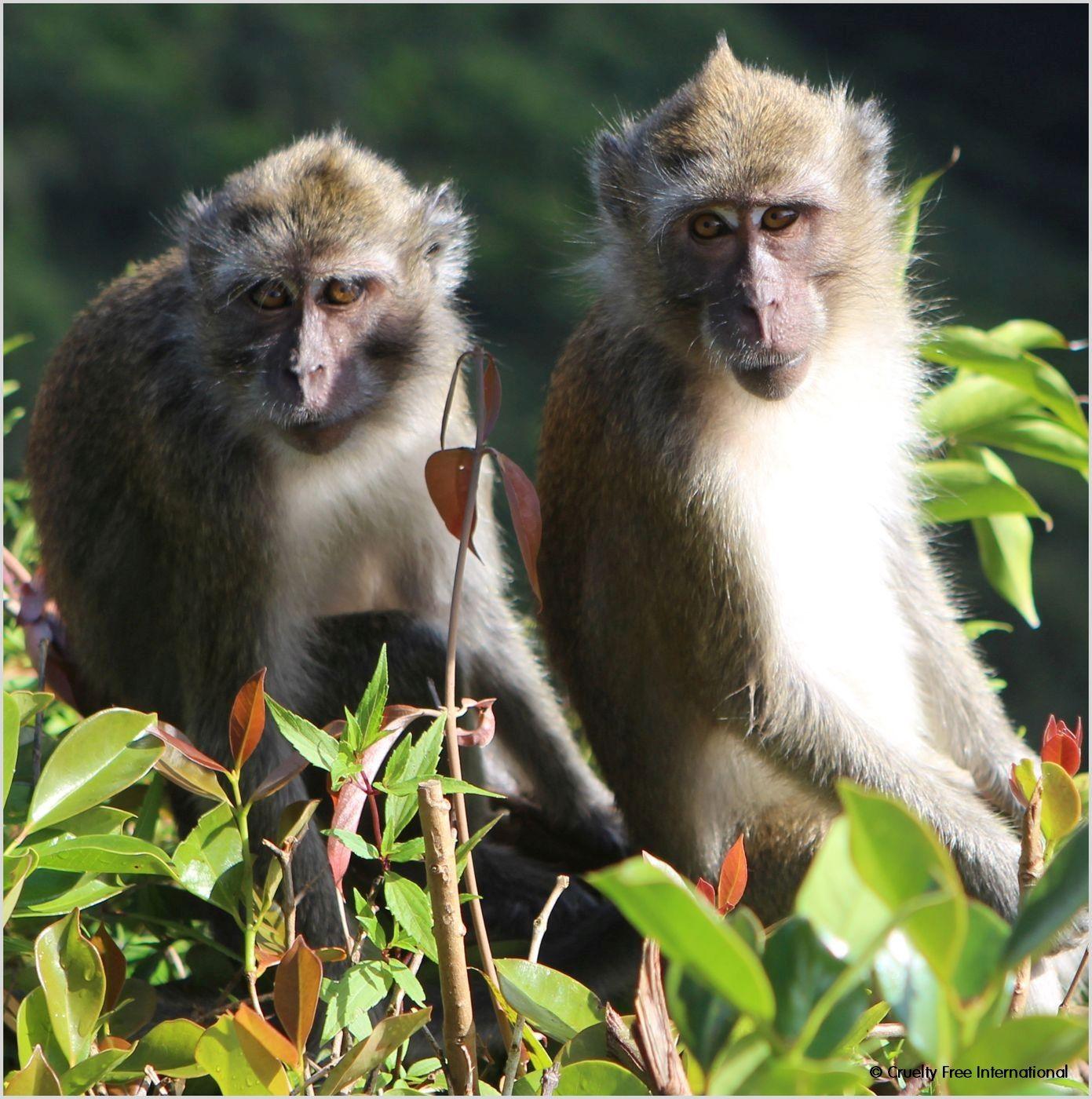Cruelty Free International_Mauritius Wild Monkey (14)